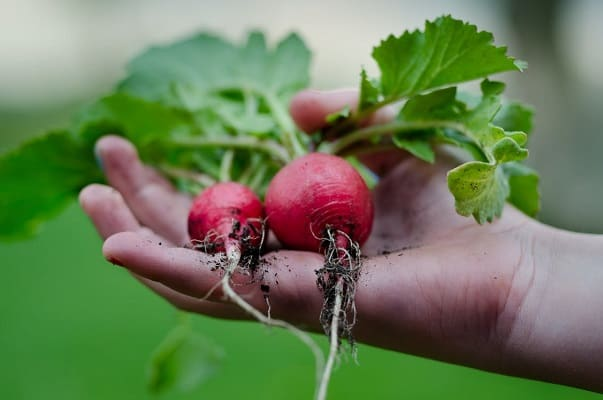 Two radishes in a person's hand